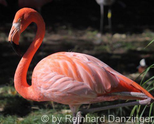 Flamingo-001